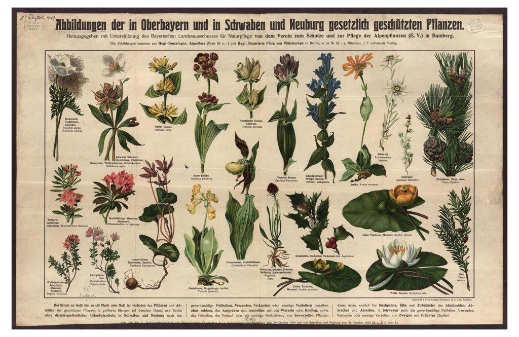 Plakat mit in Oberbayern, Neuburg und Schwaben geschützten Pflanzen, 1910 herausgegeben vom Verein zum Schutze der Alpenpflanzen. (Bild: LMU München)